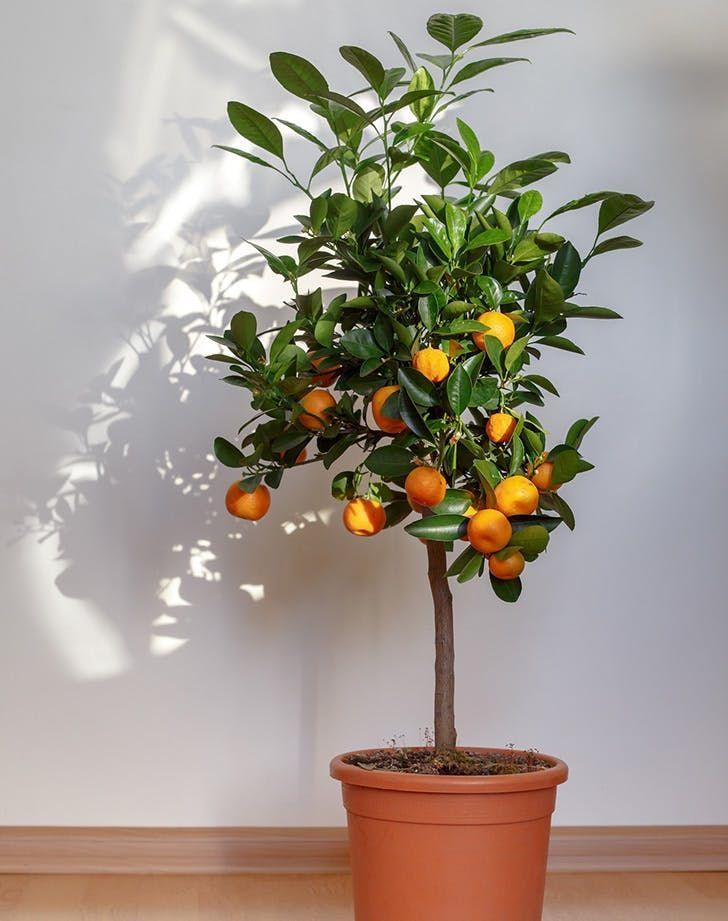 Cây họ cam, quýt